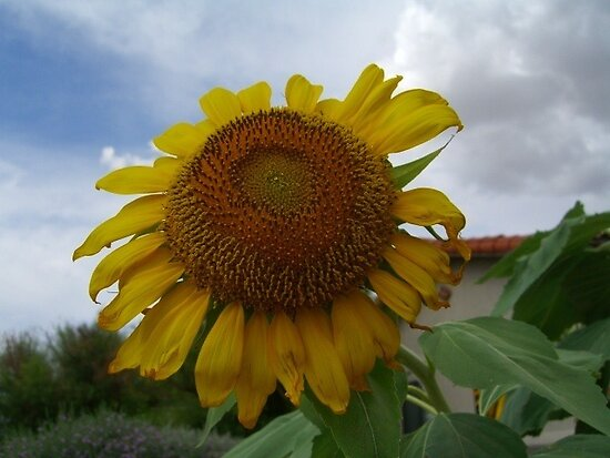 Sunflower by Peg Robb