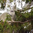Sunset Hill Snowy Owl: Balancing on a Branch by Tom Talbott