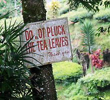 Do not pluck tea leaves by hazelong