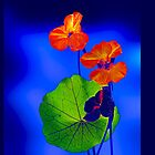 Nasturtiums (for iPhone) by ©   Elaine van Dyk