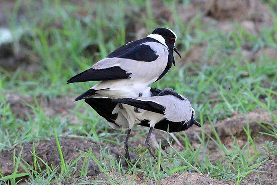 Blacksmith lapwings mating! by jozi1
