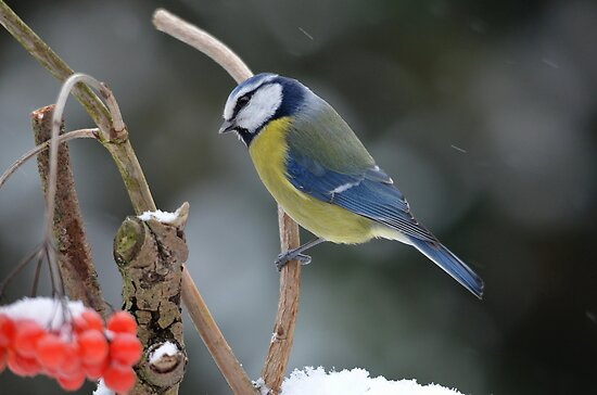 Blue tit in winter by Peter Wiggerman