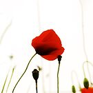 Poppies by Marc Loret