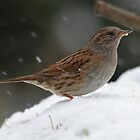 Dunnock in winter by Peter Wiggerman