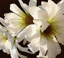 White Daisies in Sunshine by Susan Savad