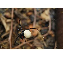 Black Widow Spider Mother Photographic Print