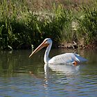 Pelican in the Water by Mavourneen Strozewski