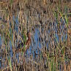 White Faced Ibis by Mavourneen Strozewski