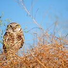Burrowing Owl in the Brush by Mavourneen Strozewski