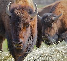 Two Buffalos soft background by bobkeenan