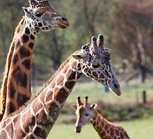 Three Giraffe family narrow DOF by bobkeenan