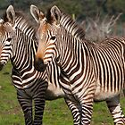 Pair of Zebras by bobkeenan