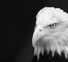 Leering Bald Eagle by bobkeenan