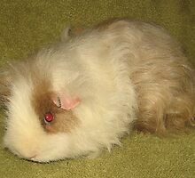 Coronet Texel Peruvian Long Hair Guinea Pig by silverdragon