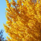 Yellow Linden on Blue Sky by dbvirago