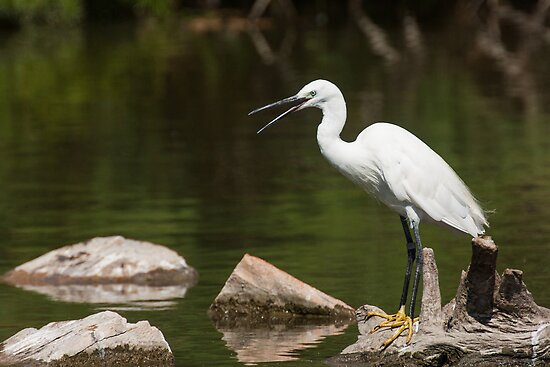 Little Egret screaming by LaurentS