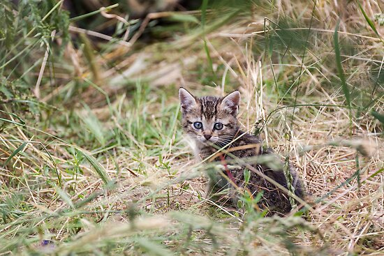 Little Kitten in the bushes by LaurentS