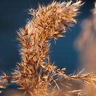 Reed in last sunlight by LaurentS