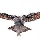 Wingspan - Great Grey Owl by Jim Cumming