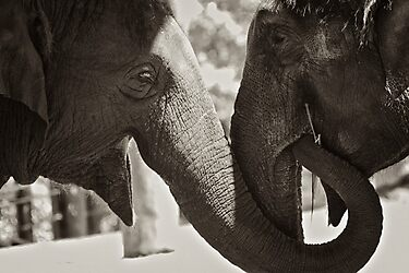 Friendship (Elephants) by Mitchins