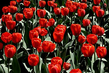 Red Tulips by Susan Drysdale