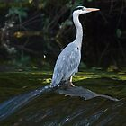 Gray Heron With Reflection by KAREN SCHMIDT