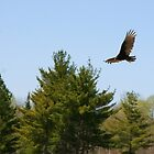 Turkey Vulture Circling by osyran
