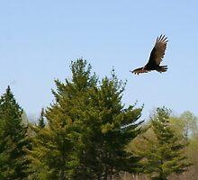 Turkey Vulture Circling by osyran