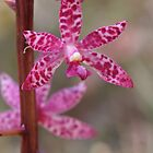 Purple Hyacinth Orchid - Dipodium punctatum by Paul Piko