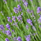 Lavender by LaurentS