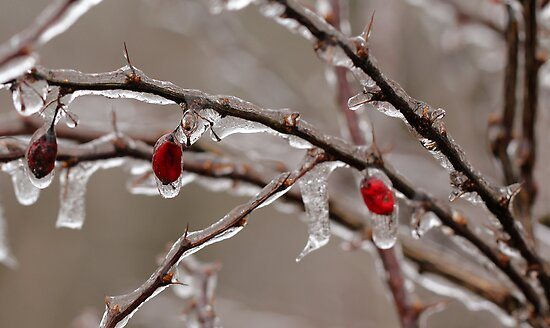 Ice Berries by Lynn Gedeon