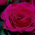 Rose by SophieGorner7