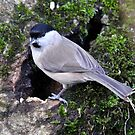 Marsh Tit by dilouise