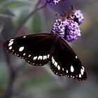 Hunter Valley Butterfly by Emma  Wertheim ~