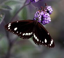 Hunter Valley Butterfly by Emma  Wertheim ~