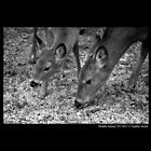 Odocoileus Virginianus - White-Tailed Deers by © Sophie W. Smith