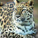 Jaguar Resting in the Sun by Mark Van Scyoc