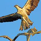 Anclote osprey in flight by jozi1