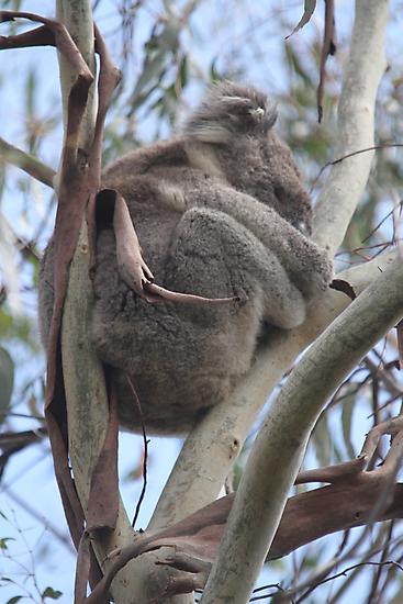 Koala in the Wild by Jacqueline  Murphy