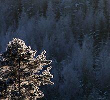 18.1.2013: Pine Tree by Petri Volanen