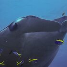 Manta Ray by simon17