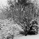 Winter magnolia... by John Callaway