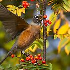 American Robin in Berries by Tom Talbott