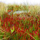 iceplant and sawgrass by Alex Call