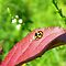 Ladybug on Leaf by Heartdra