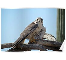 Prairie Falcon~ Eye Contact Poster