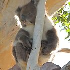 Koala (Phascolarctos cinereus) - Horsnell&#x27;s Gully, South Australia by Dan &amp; Emma Monceaux