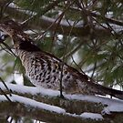 Grouse in situ by Chris Kiez