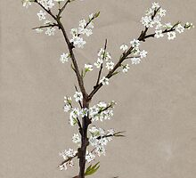 Blackthorn or Sloe Blossom. by JamesAlden