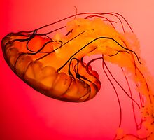 Northeast Pacific Sea Nettle by Ty Helton